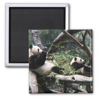 Panda at the San Diego Zoo Refrigerator Magnets