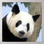 panda-bear10x10 poster