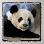 Panda Bear-8884e11x11fram Posters