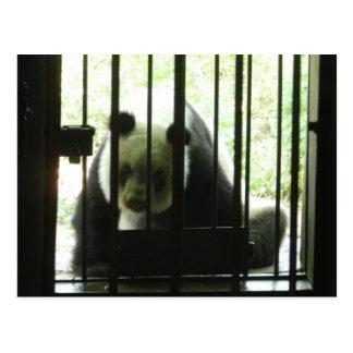 Panda Bear Behind Bars Postcards