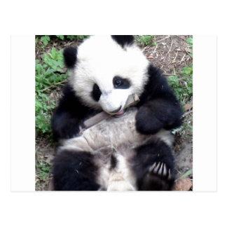 Panda Bear Bites Stick, Has Cool Claws Postcard