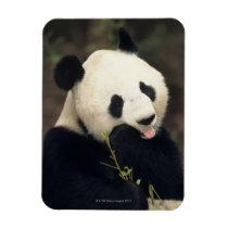 Panda bear, (Close-up) Magnet