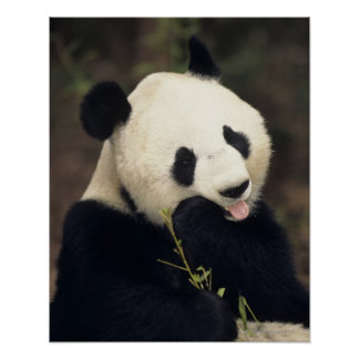 Panda bear, (Close-up) Poster