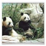 Panda bear eating and playing photograph