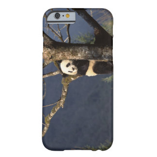 Panda bear in tree , China Barely There iPhone 6 Case