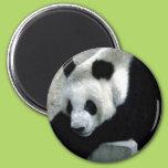 Panda Bear on Rocks 2 Inch Round Magnet