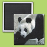 Panda Bear on Rocks 2 Inch Square Magnet