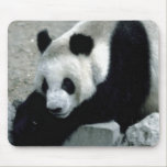 Panda Bear on Rocks Mouse Pad