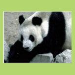 Panda Bear on Rocks Postcard