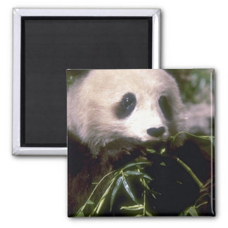 PANDA BEAR PHOTO MAGNET