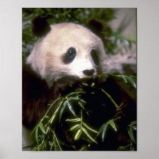PANDA BEAR PHOTO POSTER