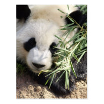 Panda Bear @ Zoo Atlanta Postcard