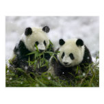 Panda Bears Postcard - Customized