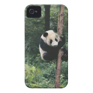 Panda cub climbing the tree, Wolong, Sichuan, iPhone 4 Cover