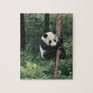 Panda cub climbing the tree, Wolong, Sichuan, Jigsaw Puzzle