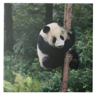 Panda cub climbing the tree, Wolong, Sichuan, Tile
