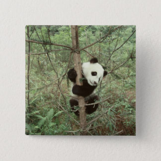 Panda cub climbing tree, Wolong, Sichuan, Pinback Button