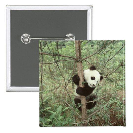 Panda cub climbing tree, Wolong, Sichuan, Pinback Button