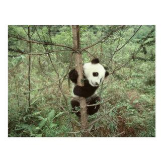 Panda cub climbing tree, Wolong, Sichuan, Postcard