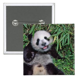 Panda cub in the bamboo grove, Wolong, Buttons