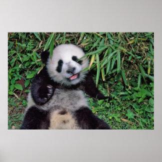 Panda cub in the bamboo grove, Wolong, Poster