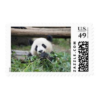 Panda Cub Munching Contently Postage Stamp