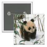Panda cub on snow, Wolong, Sichuan, China 2 2 Inch Square Button
