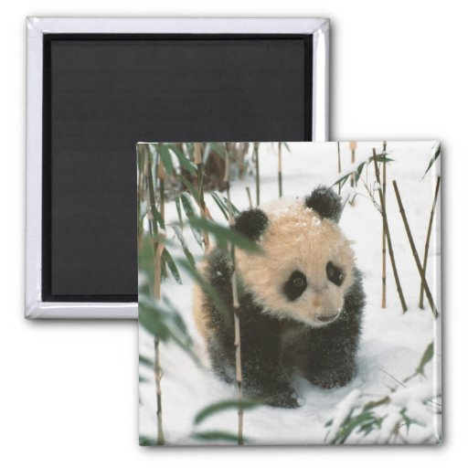 Panda cub on snow, Wolong, Sichuan, China 2 2 Inch Square Magnet