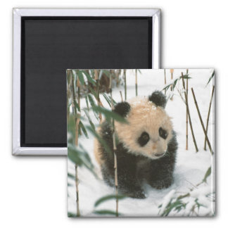 Panda cub on snow, Wolong, Sichuan, China 2 Magnet