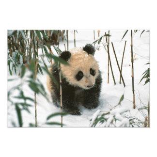 Panda cub on snow, Wolong, Sichuan, China 2 Photo Print