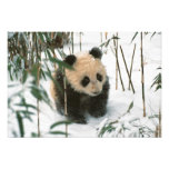 Panda cub on snow, Wolong, Sichuan, China 2 Photograph