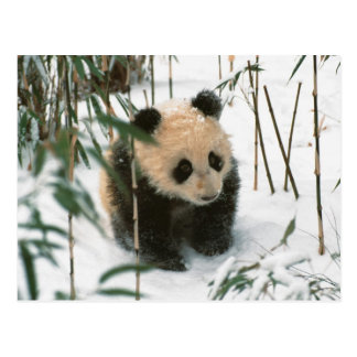 Panda cub on snow, Wolong, Sichuan, China 2 Postcard