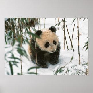 Panda cub on snow, Wolong, Sichuan, China 2 Poster
