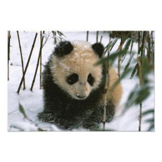 Panda cub on snow, Wolong, Sichuan, China Photo