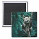 Panda cub on tree, Wolong, Sichuan, China 2 Inch Square Magnet