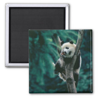 Panda cub on tree, Wolong, Sichuan, China 2 Inch Square Magnet