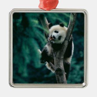 Panda cub on tree, Wolong, Sichuan, China Square Metal Christmas Ornament