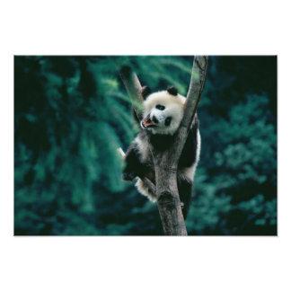 Panda cub on tree, Wolong, Sichuan, China Photographic Print