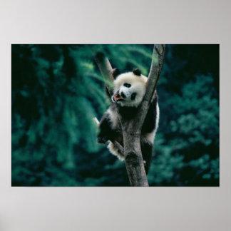 Panda cub on tree, Wolong, Sichuan, China Poster