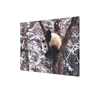 Panda cub playing on tree covered with snow, canvas print