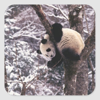 Panda cub playing on tree covered with snow, square sticker