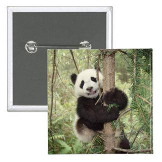 Panda cub playing on tree, Wolong, Sichuan, Button
