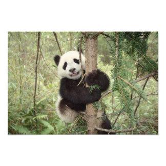 Panda cub playing on tree, Wolong, Sichuan, Photograph