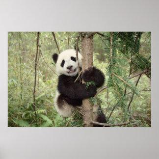 Panda cub playing on tree, Wolong, Sichuan, Poster