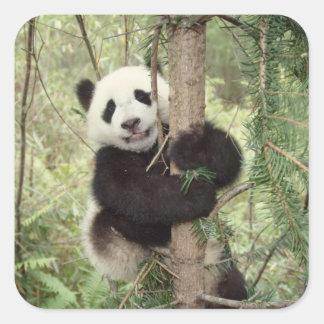 Panda cub playing on tree, Wolong, Sichuan, Square Sticker