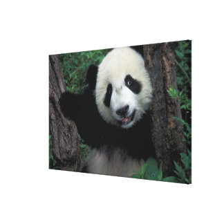 Panda cub with tree, Wolong, Sichuan Province, Canvas Print