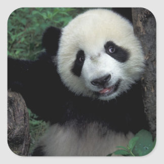 Panda cub with tree, Wolong, Sichuan Province, Square Sticker