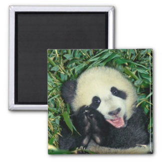 Panda cub, Wolong, Sichuan, China Magnet
