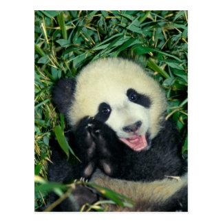 Panda cub, Wolong, Sichuan, China Postcard