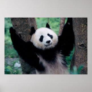 Panda cub, Wolong, Sichuan, China Poster